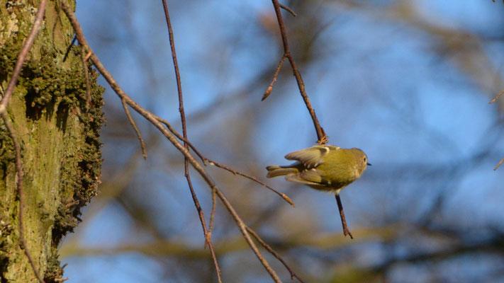 Wintergoldhähnchen