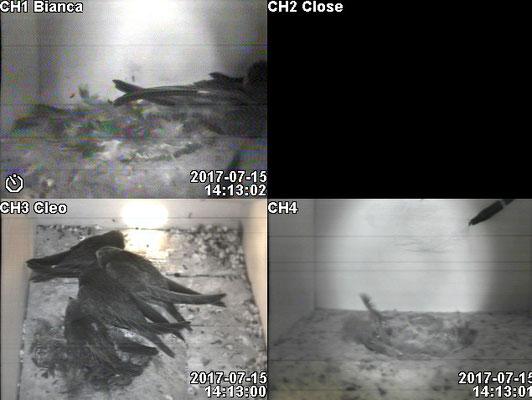 Quaks hat sich charmant eingeschmeichelt(weisser Markierungstrich zwischen den Flügeln)