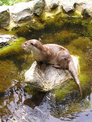 Otter in Hankensbüttel