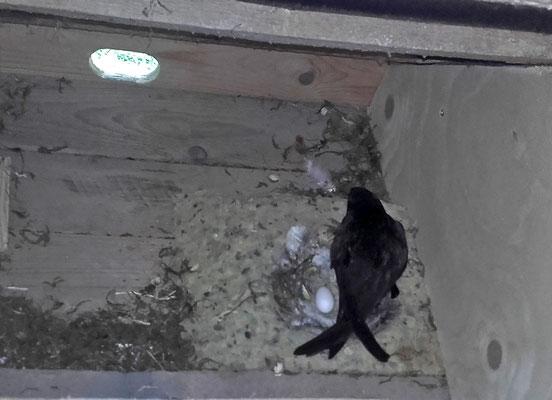 Fine hat am 9. 7. ihr erstes Ei gelegt