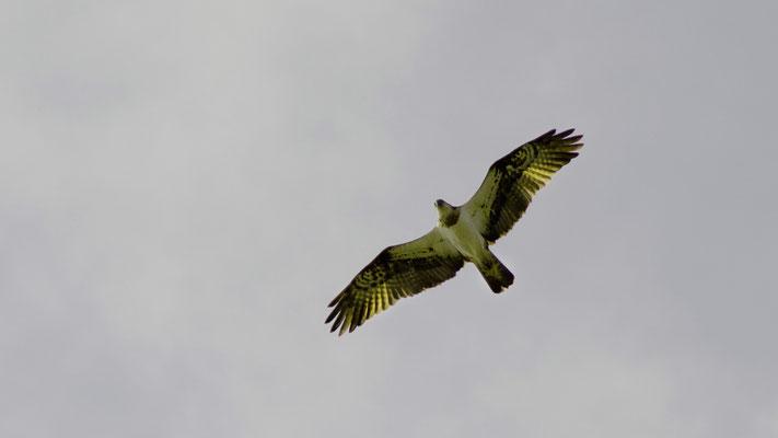 Fischadler im Überflug 2
