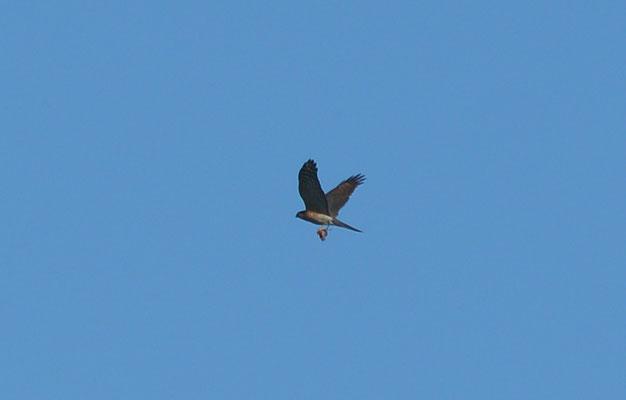 und schon sind die Vogeljäger unterwegs, hier eine Weihe mit Beute