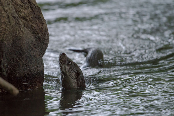 Danke an Heiko Anders für dieses Wildlivefoto eines Otters aus der Dahlener Heide, http://www.andersfotografiert.com