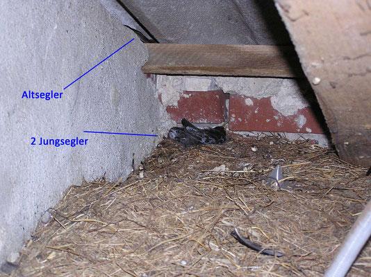 Nest mit 2 Jungseglern und Altsegler