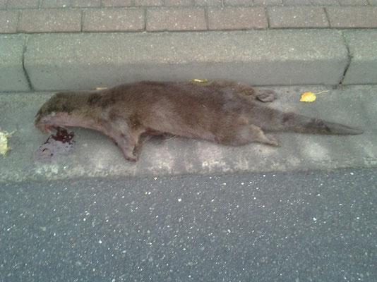Verkehrsopfer Otterfähe, Lg: 102 cm, 6.5 kg, bei Hamburg-leider zu diesem Zeitpunkt tragend!