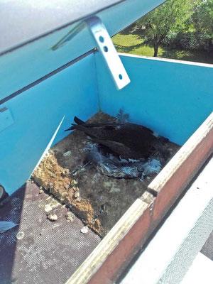 Laut Monitor war keiner auf dem Nest und als ich auf dem Dach war und den Nistkasten öffnete schaute mich  Bianca ungläubig an und gab ihr Gelege nicht frei...