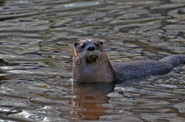 Otter in Eekholt