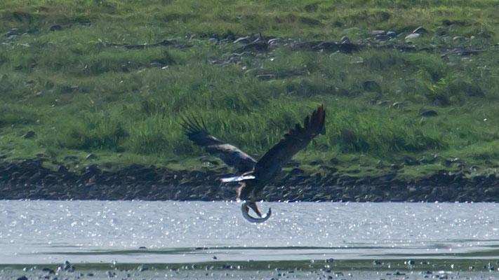 Seeadler adult mit Hecht