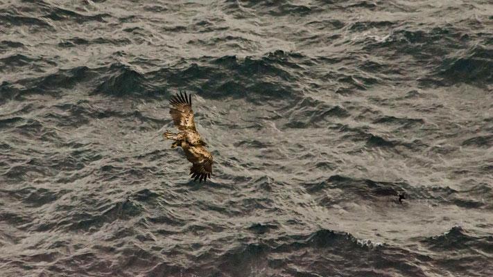 Eine Meisterleistung bei Windstärken um 7 bft die Papageitaucher zu erwischen