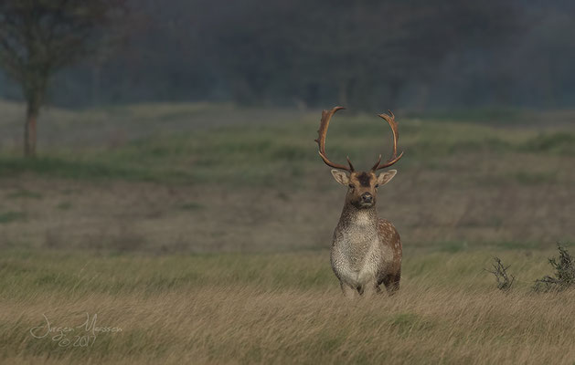 Damhert bok, prachtige dieren zijn het!!! - Fallow Deer buck, beautiful animals they are!!!