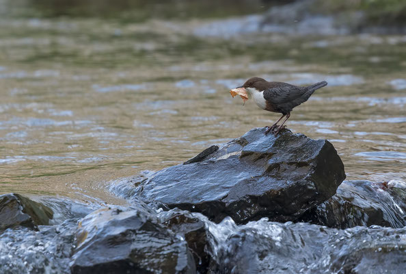 Roodbuikwaterspreeuw met blad - Red-bellied dipper with leaf.