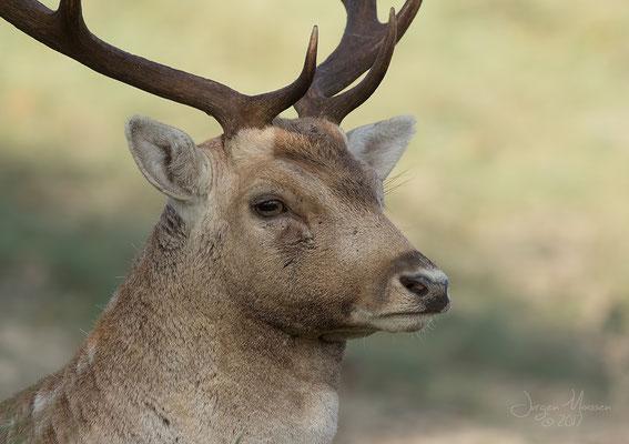 Damhert bok portret - Fallow Deer buck portrait.