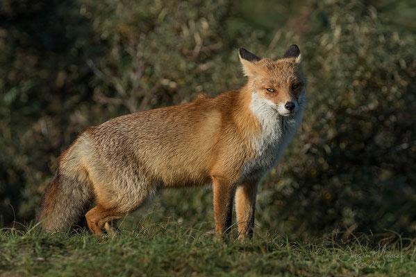 AWD vosje - AWD fox.