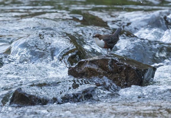 Roodbuikwaterspreeuw in natuurlijke omgeving - Red-bellied dipper in natural environment.