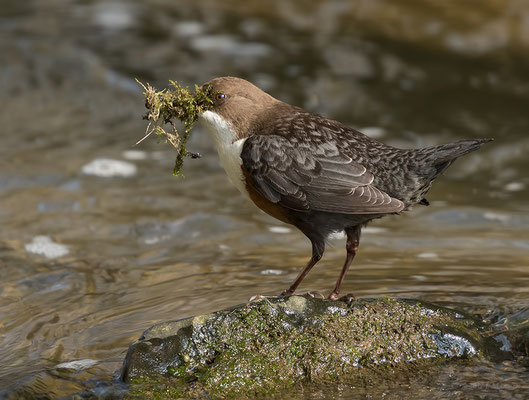 Roodbuikwaterspreeuw met nestmateriaal - Red-bellied dipper with nest material.