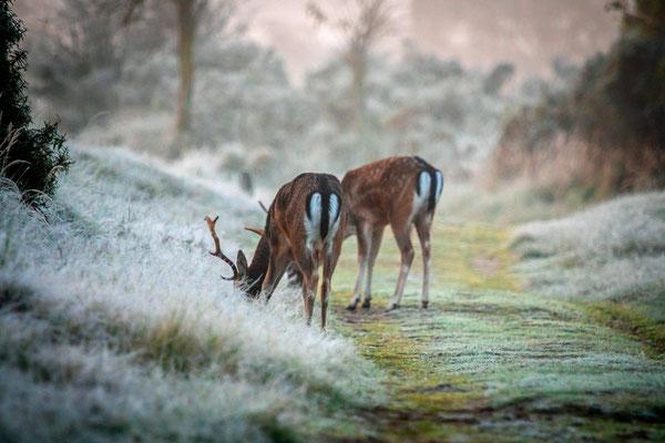 Herten in het gras met douw