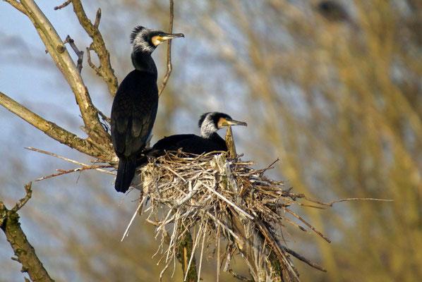 Nest aalscholvers.