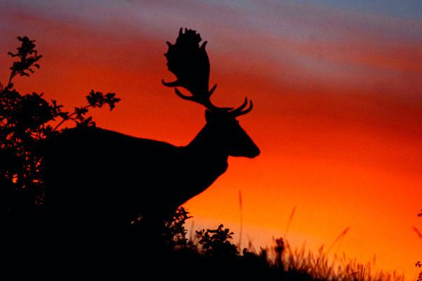 Damhert met zon opkomst