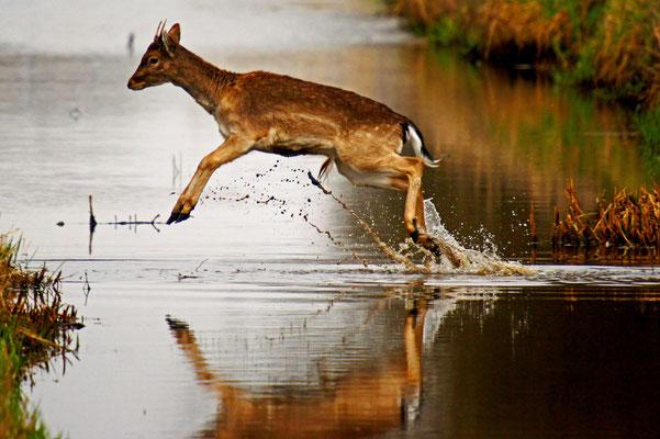 Hert springt over water