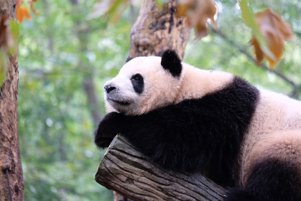 Chengdu - Pandabär