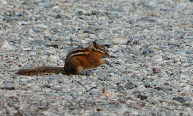Streifenhörnchen auf dem Parkplatz