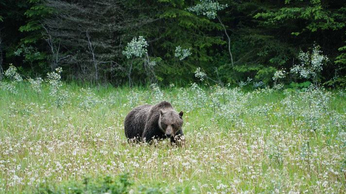 Grizzly im Bow Valley