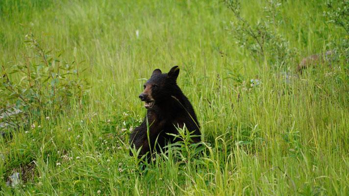 Schwarzbär bei Whistler
