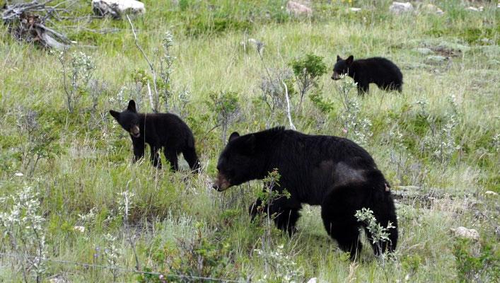 Bärenmutter mit ihren zwei Kleinen