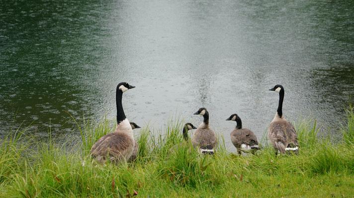 Kanadische Wildgans-Familie
