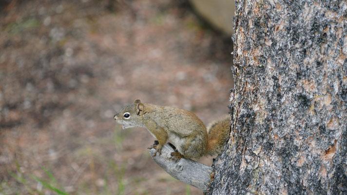 das Eichhörnchen unterhielt sich lautstark mit einem Artgenossen