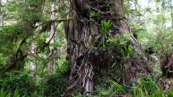 Regenwald am Pacific Rim