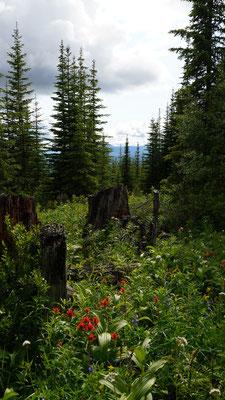 Wildblumen auf den Meadows vom Trophy Mountain