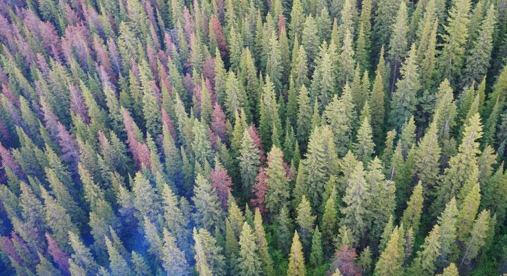 ein Grossteil der Nadelbäume im Jasper ist von Borkenkäfern befallen und stirbt