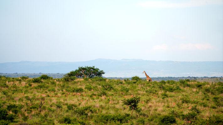 Giraffe in der tollen Landschaft