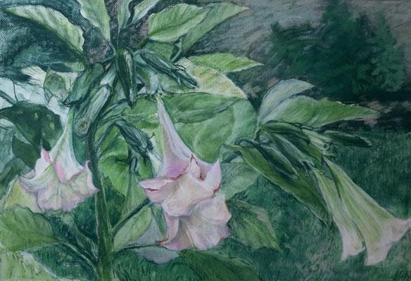 Titel: Engelstrompete, Technik: Pastell/ Aquarell, Maße: 70x48 cm, Jahr: 1998