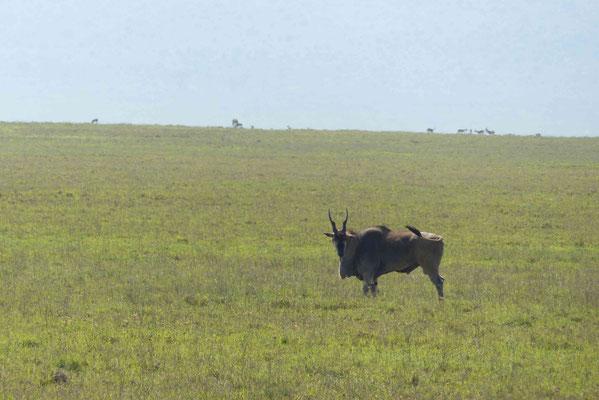 größte Antilope