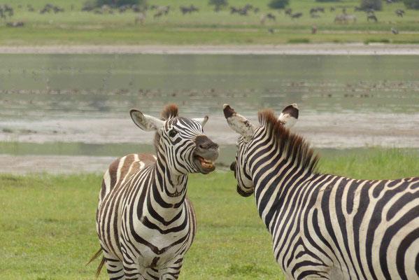 Zebraunterhaltung