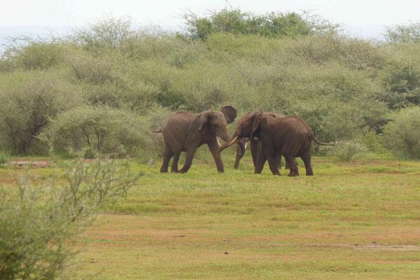 Elefanten beim Kämpfen