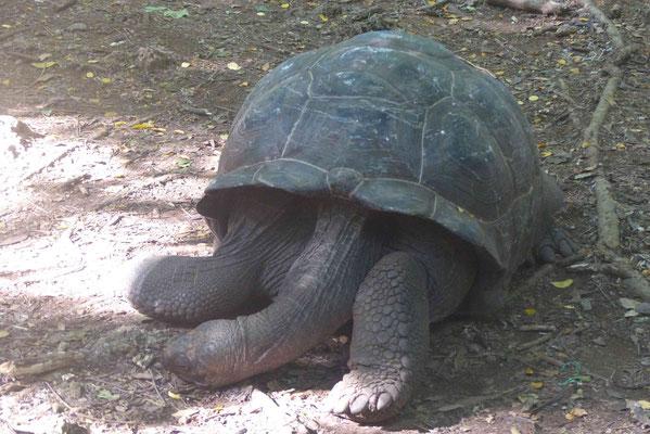 relaxte Schildkröte (die Älteste auf der Insel war 192 Jahre alt)