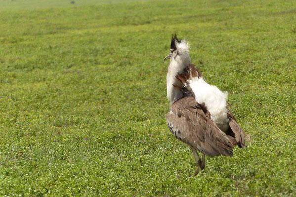 Balzender Vogel
