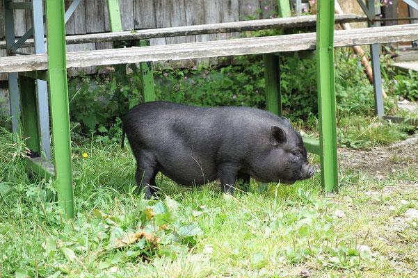 Ein kleines Schwein an der Bleckwandhütte