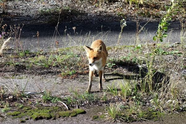 Ein wilder Fuchs