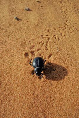 Ein Käfer in der Sahara
