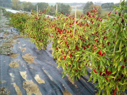 Rote Teufelchen leuchten im Herbst!