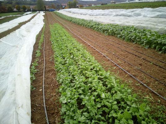 und Feldsalat gepflanzt und gesät, das ist nach Kartoffeln, Radies jetzt die 3. Kultur in einem Jahr