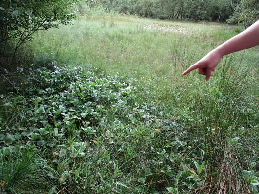 Muckelnmanns Teich mit Fieberklee und Sumpf-Schlangenwurz vorne links.