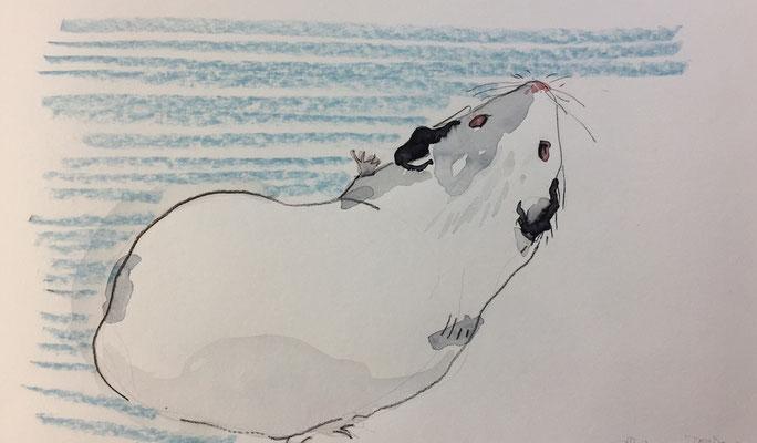 Meerschweinchen SW