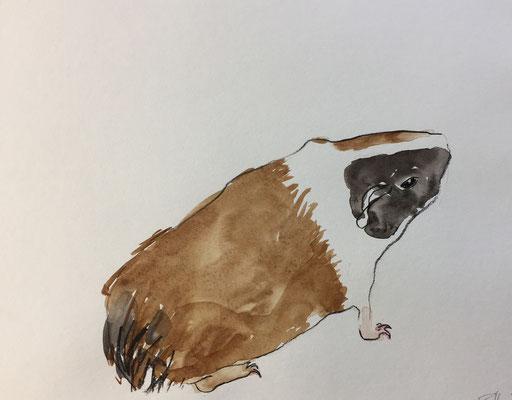 Meerschweinchen Braun-Schwarz