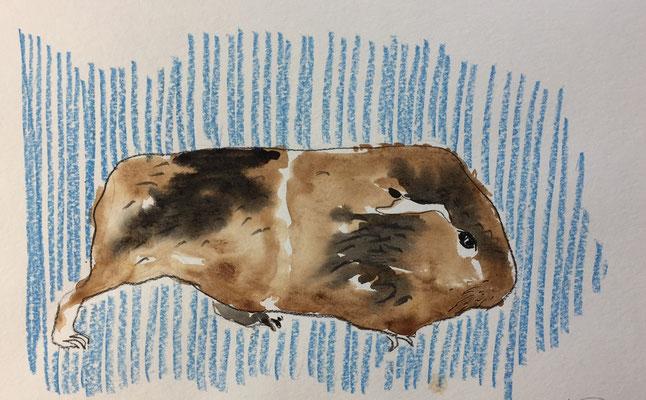 Meerschweinchen laufend