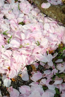 散った桜花
